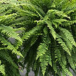 beautiful ferns.jpg