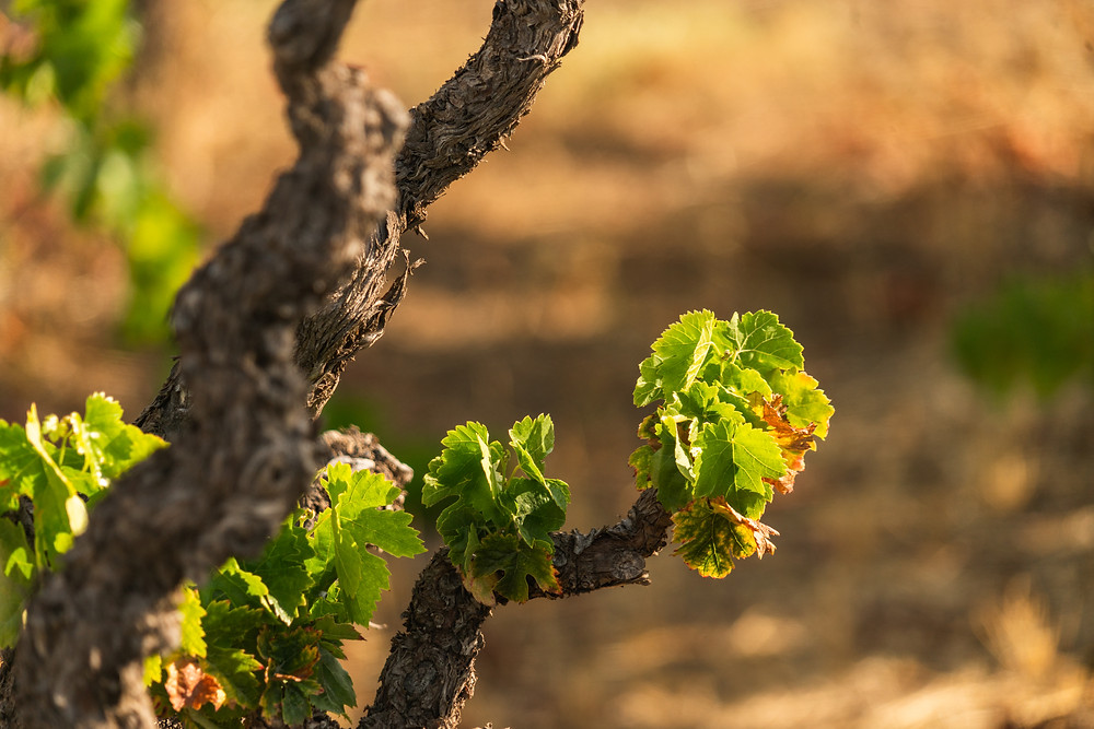 """A grown vine producing the fruit of future wine considered """"green"""" or organic."""