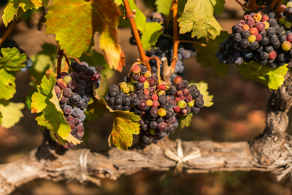 Vine full of fruit, the beginning of what then becomes your favorite wine.