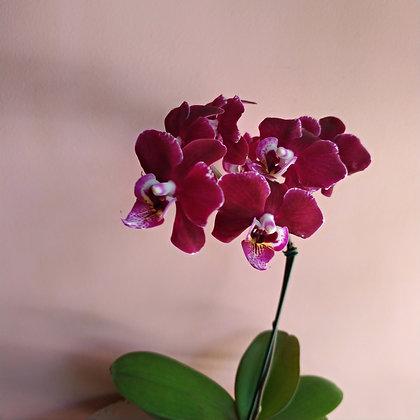 orquidea no vaso curado