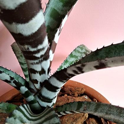 bromelia chantini no vaso g baixo