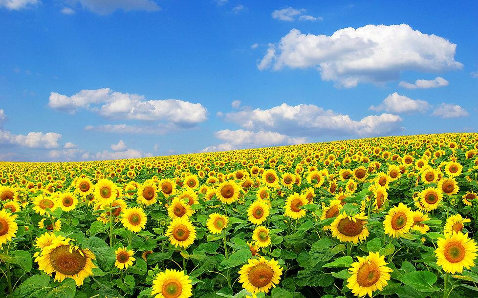 6984399-beautiful-sunflower-fields.jpg