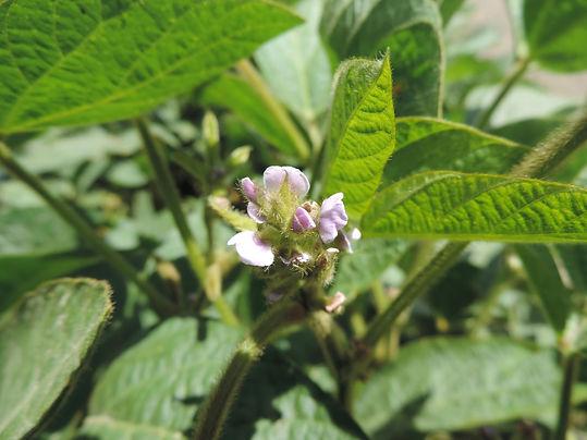 Rastlina-Soja-Korana-kvet-Lucagra-osiva-