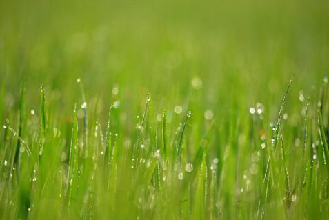 The Dew Drops