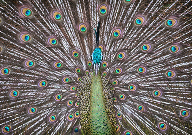 The Indian Green Peafowl