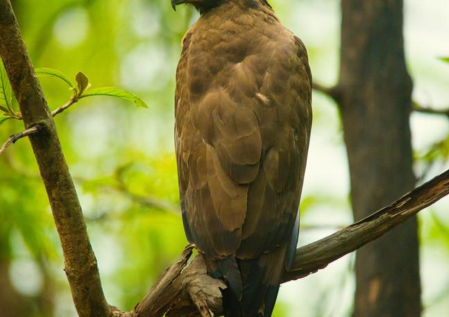 Crested Serpant Eagle