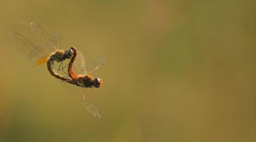 Dragonflies Strange Love