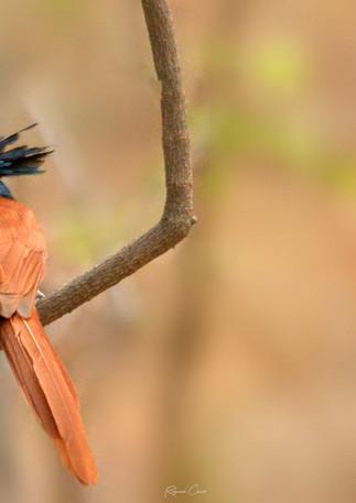 Paradise Flycatcher Male