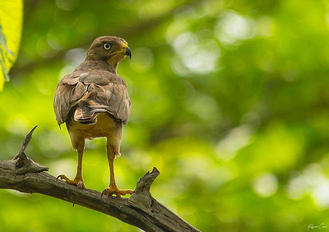 Hawk(Shikra)