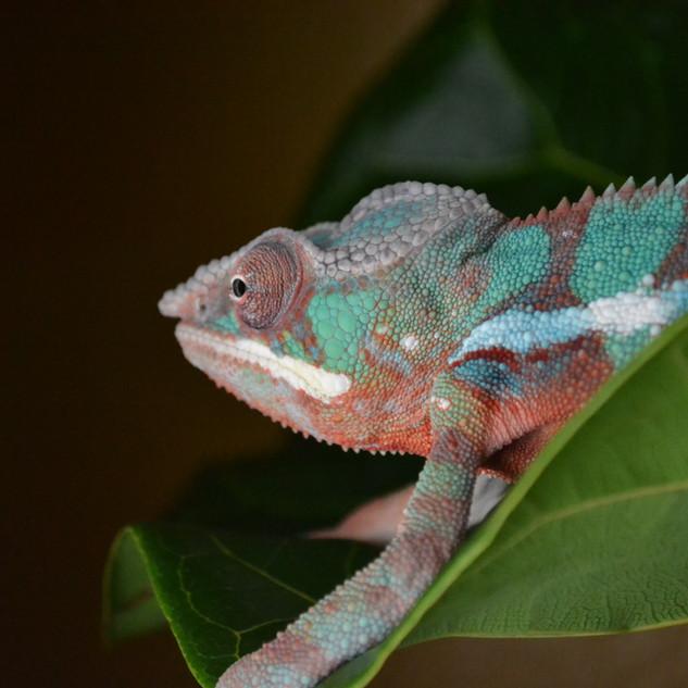 Chameleon- Gizmo August 2020-5.jpg
