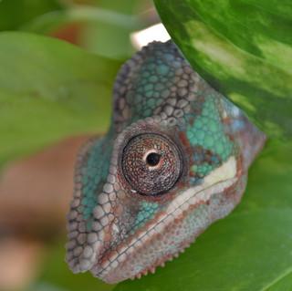Chameleon- Gizmo August 2020-16.jpg