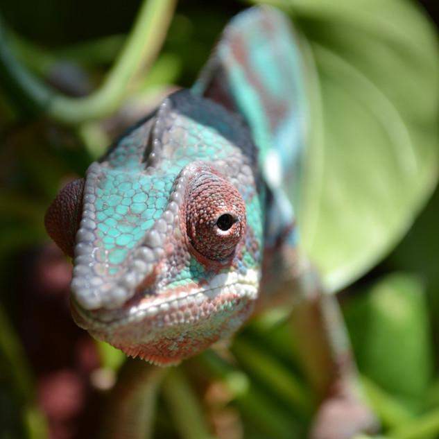 Chameleon- Gizmo August 2020-34.jpg