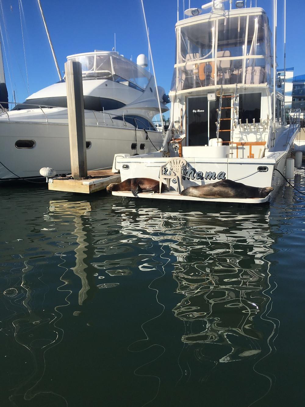 Marina Del Rey seals on a boat
