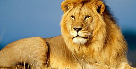 Лучше вальяжный лев, чем бодрый осел...