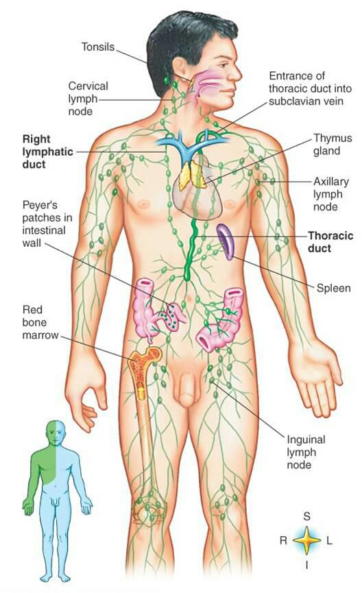 Improves Lymphatic Circulation