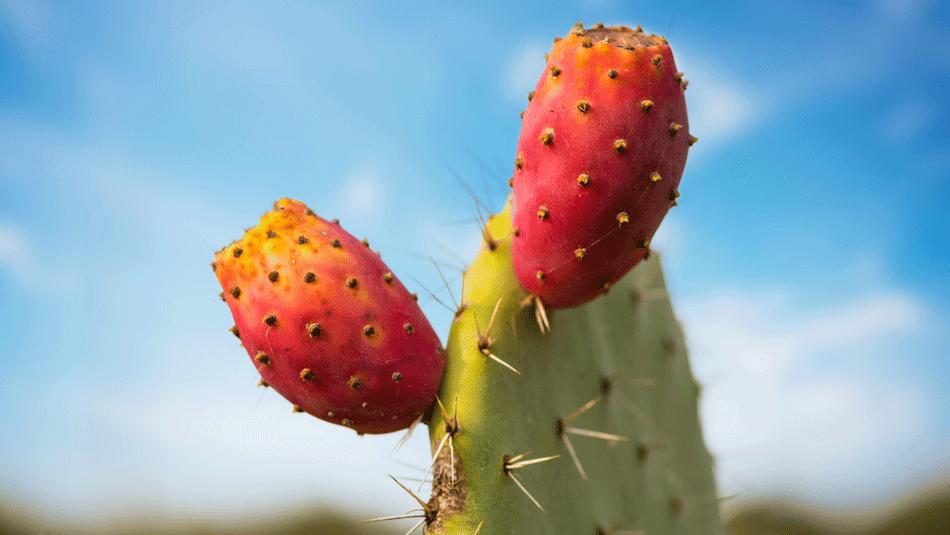Kaktusfeigenkernöl-kaufen-wirkung-anwendung-vitamin-e-serum-dm-rossmann-prickly pear seed oil