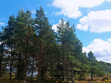 """歐洲赤松 """"Scots"""" Pine"""