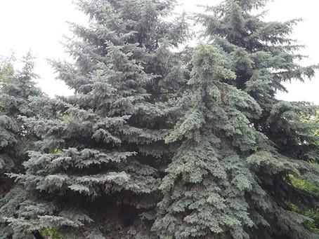 雲杉精油 Spruce