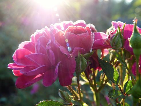 Rose de Lumière I L'Union, l'Unicité