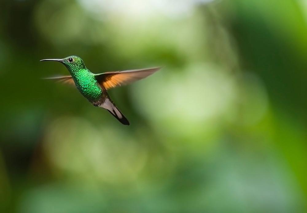 Un colibris vole vers la Victoire de la Lumière