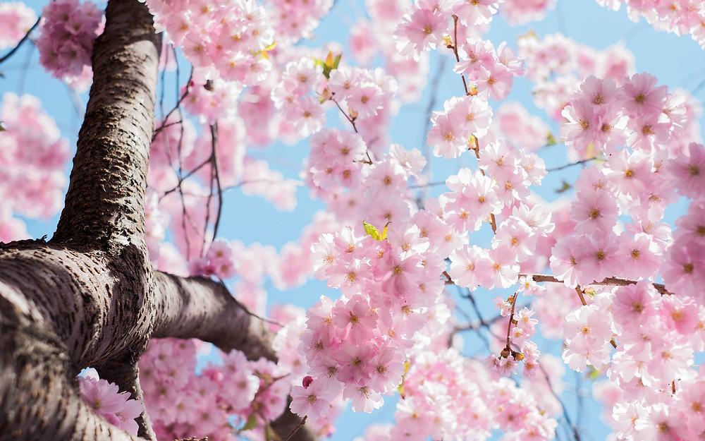 Des fleurs de cerisier dans la lumière