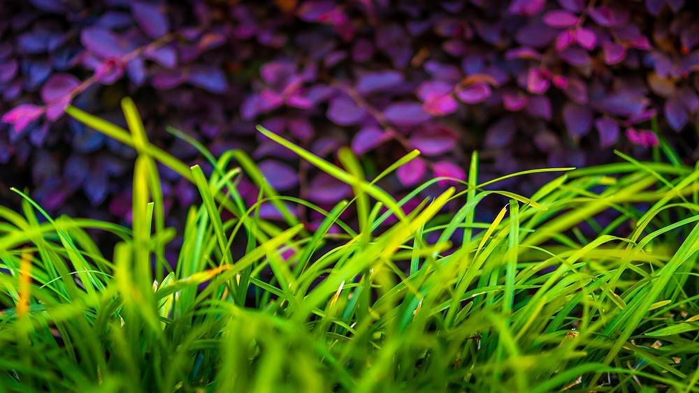 1 iris violet dans la lumière
