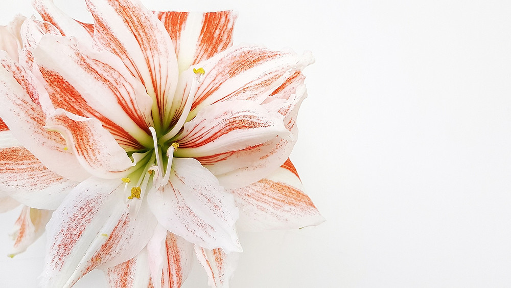 Une fleur amaryllis rose de beauté