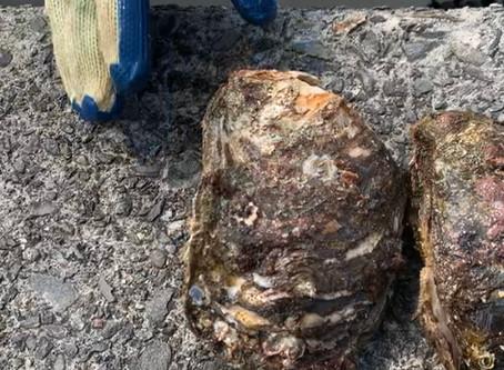 阿南市産の天然岩ガキが入荷しました