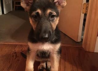 Sarge the Foodie - A German Shepard dog story.