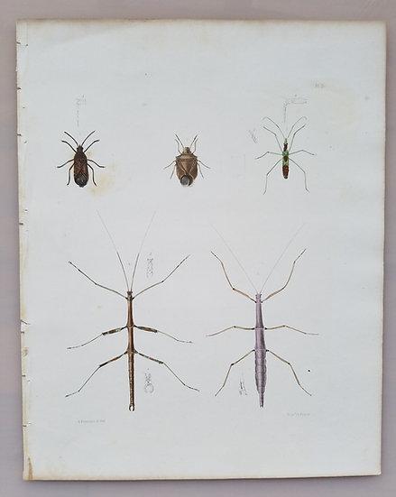 New York Agricultural Print of Walking Sticks Plate 7 - Ebenezer Emmons Jr