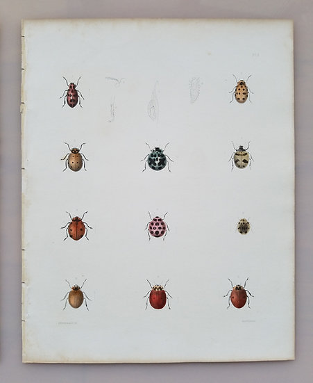 New York Agricultural Print of Colorful Beetles Plate 11 - Ebenezer Emmons Jr