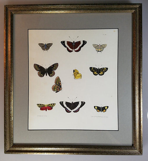 New York Agricultural Print of Butterfly Plate 43 - Ebenezer Emmons Jr
