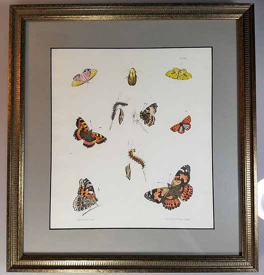 New York Agricultural Print of Butterfly Plate 46 - Ebenezer Emmons Jr