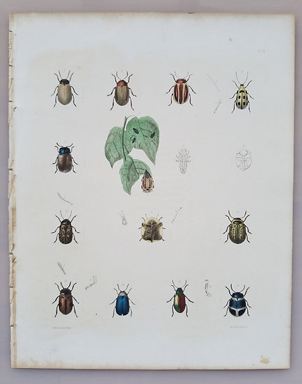 New York Agricultural Print of Beetles Plate 14 - Ebenezer Emmons Jr