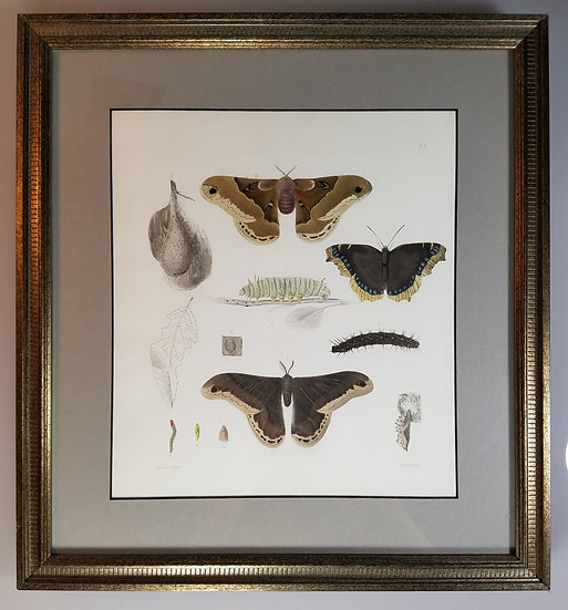 New York Agricultural Print of Moth Life Cycle Plate 6 - Ebenezer Emmons Jr