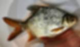 レッドフィンバルブ | コイ類 | ノーザンみしま