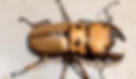 メンガタクワガタ | 昆虫他 | ノーザンみしま