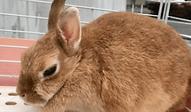 ネザーランド・ドワーフ | 小動物 | ノーザンみしま
