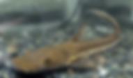 プラニセプス | ナマズ類 | ノーザンみしま