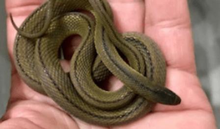 タカチホヘビ | ヘビ・トカゲ | ノーザンみしま