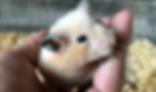 キンクマハムスター | 小動物 | ノーザンみしま