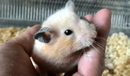 キンクマハムスター   小動物   ノーザンみしま