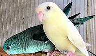 サザナミインコ | 鳥類 | ノーザンみしま