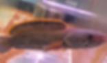 ファイヤーバックスネークヘッド | スネークヘッド |ノーザンみしま