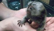 コモンマーモセット | 小動物 | ノーザンみしま