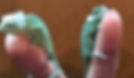 エボシカメレオン | ノーザンみしま