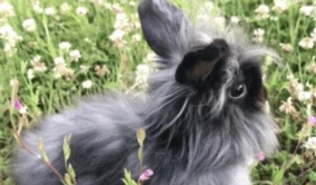 ウサギ アメリカン ファジィ   小動物   ノーザンみしま