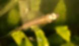 プラチナマーサハチェット | カラシン | ノーザンみしま