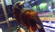 ハリスホーク | 鳥類 | ノーザンみしま