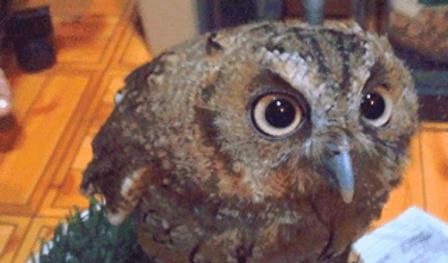 スピックスコノハズク | 鳥類 | ノーザンみしま
